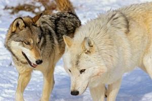 wolf pair red-beige